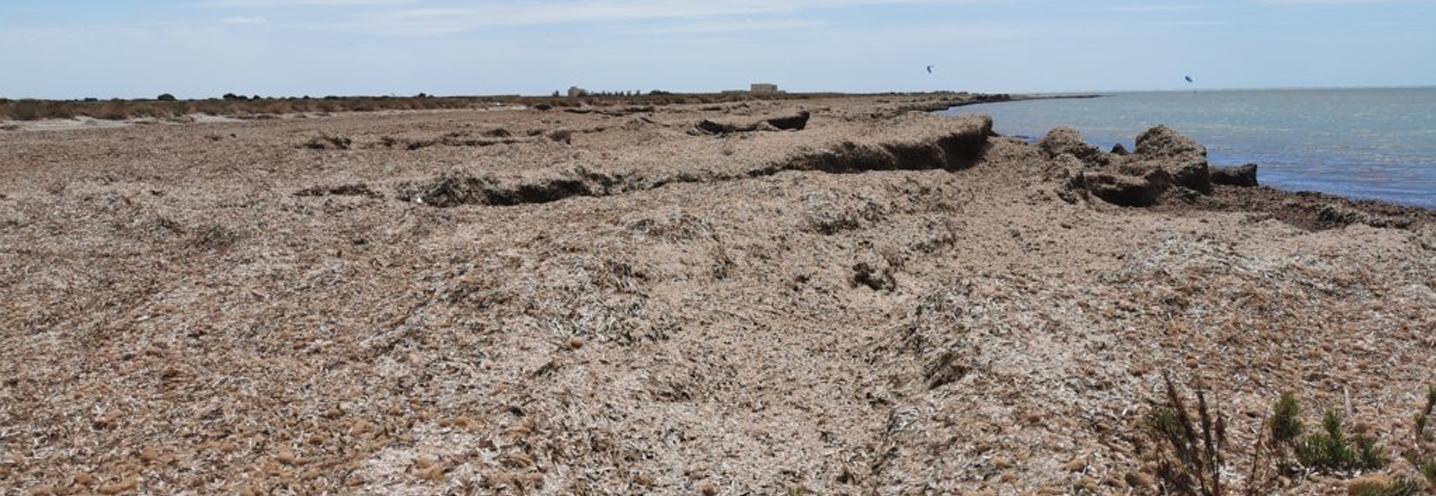 PETROSINO – Faro Capo Feto – Immensa distesa di Posidonia Oceanica spiaggiata